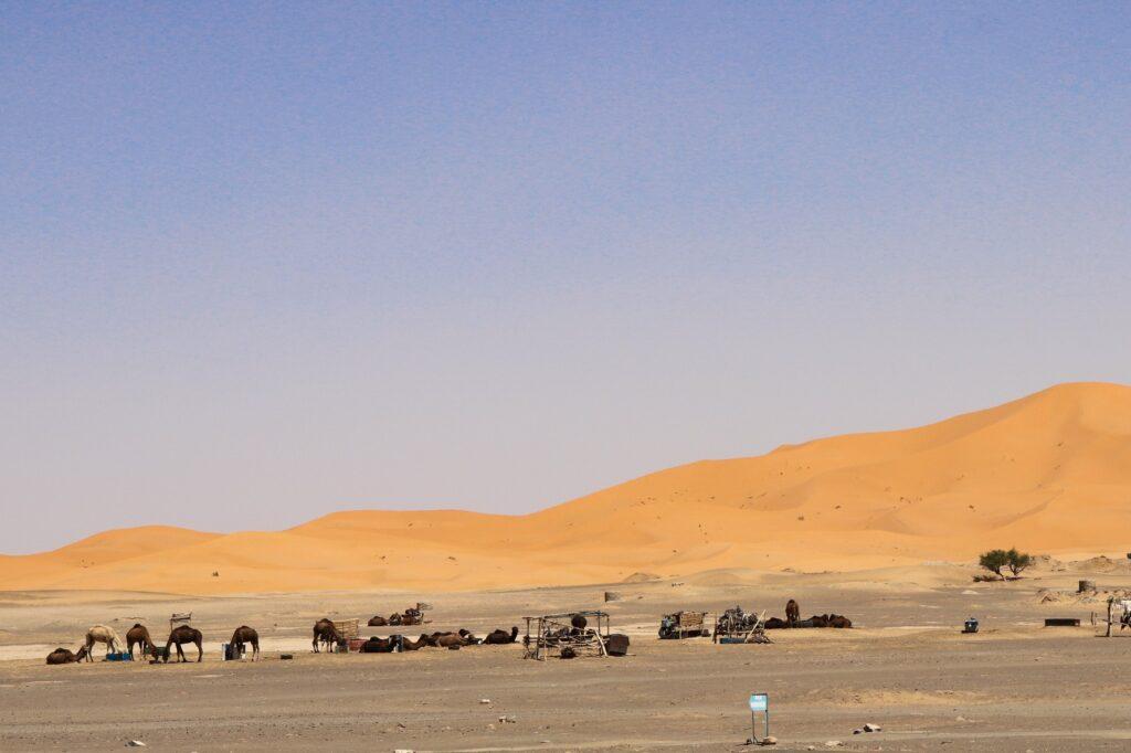 wielbłądy na pustyni Merzouga w Maroku